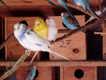 How to Breed Budgies in India